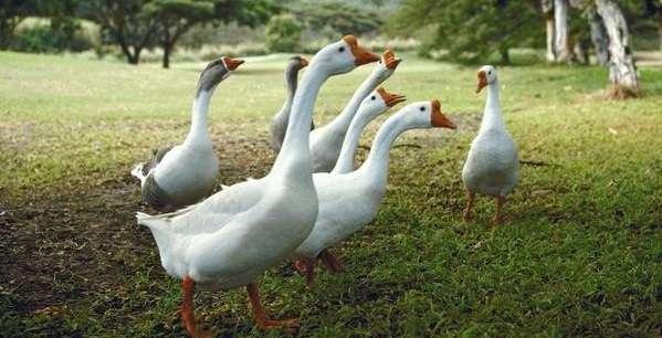 чем кормить гусей чтобы они набирали вес