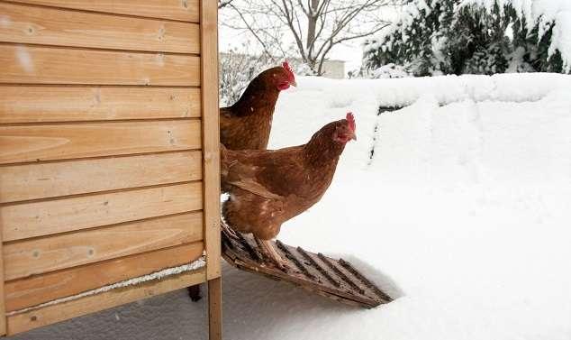 кормление кур зимой в домашних условиях