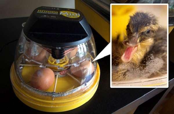 Секреты инкубации яиц в домашних условиях