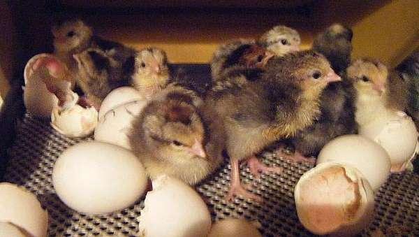 все отобранные для закладки яйца