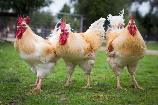 Геркулес – порода кур, которая любит пространство для выгула