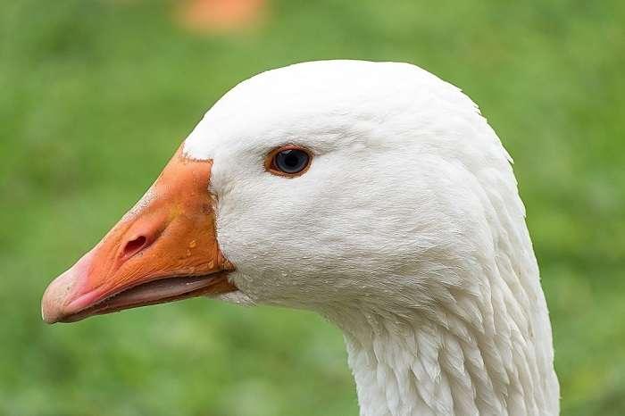 венгерские гуси фото