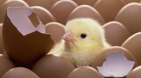 как выбирать яйца для инкубатора