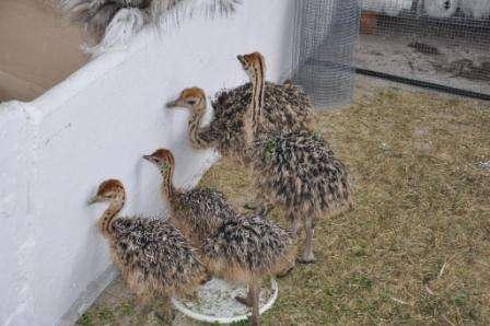 разведение страусов в домашних условиях в Украине