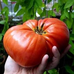 Этот томат сибирской селекции совместил в себе три редко сочетаемые особенности: низкорослость, крупноплодность и раннее созревание.