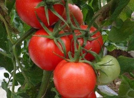 Благовест — высокорослый, среднераннего созревания, вес плодов — 100 г, есть иммунитет к некоторым болезням, урожайность — 14-17 кг/м².