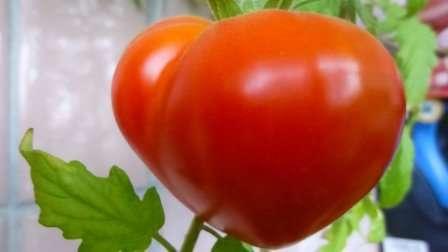 Буденовка — высокорослый с крупными плодами (до 350 г) сердцевидной формы, среднераннего созревания, устойчивостью к болезням не наделен; урожайность — 9 кг/м².