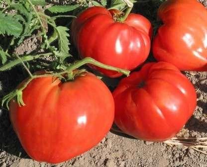 Бычье сердце — сорт имеет сильнорослый куст с крупными вкусными плодами среднего созревания весом до 500 г, урожайность — 30-40 кг/м².