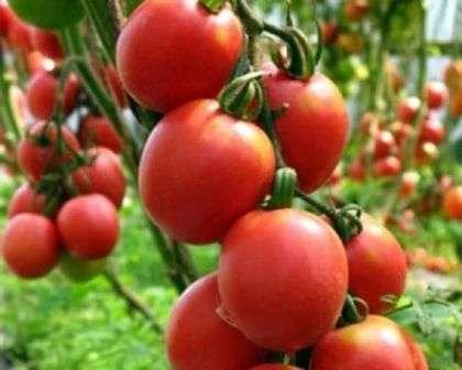 Де Барао — имеет несколько разновидностей с различным окрасом плодов, средний срок созревания, плоды весом 150 г отлично хранятся, урожайный показатель — более 40 кг/м².