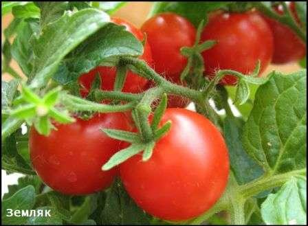 Главная особенность — стабильная урожайность — 4 кг/1 кв. м.
