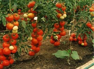 Интуиция — неограниченный в росте сорт, среднеспелый, плоды очень сладкие, более 100 г; урожайный показатель очень высок— 20-30 кг/м².