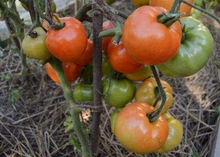 Это один из лучших представителей группы ранних томатов. Это невысокий куст идеален для открытого грунта.