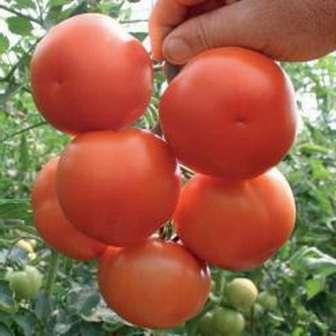 Кострома — отличается высоким кустом большими плодами (от 150 г), обладает устойчивостью к некоторым болезням и перепадам влажности; количество плодов — 30-40 кг/м².