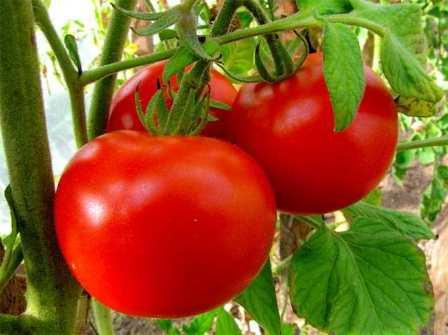 Мичуринский — невысокое растение с небольшими мясистыми плодами (до 100 г), отличающимися превосходными товарными качествами, дружная отдача плодов, урожайный показатель — 10 кг/м².