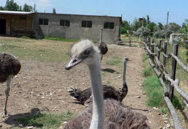 К примеру, для размещения примерно тридцати взрослых страусов понадобится помещение в сто пятьдесят квадратных метров. Следует учитывать тот факт, что страус – птица высокая, а, значит, помещение должно быть не только просторным, но и довольно высоким – около двух метров.