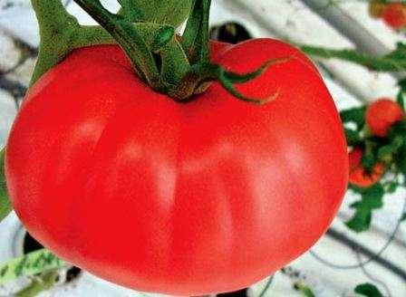 Розмарин — среднерослый и среднеспелый сорт; помидоры выростают крупные — по 400-500 г с тонкой кожурой, урожайность более 30 кг/м².