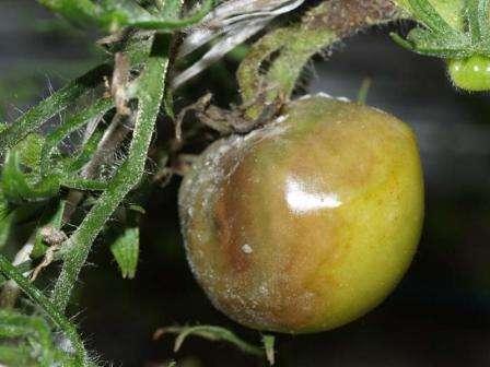 Фото серой гнили томатов