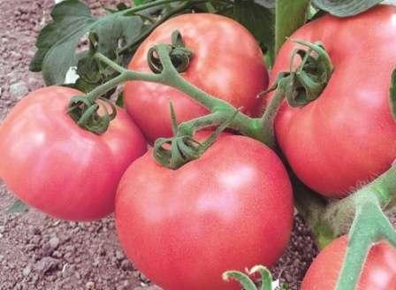 Счастье — высокорослый среднеспелый гибрид помидоров, имеющий хороший иммунитет, дающий плотные розовые плоды весом по 300 г, урожайность — 10-12 кг/м².