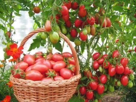 Чио-чио-сан — куст неограничен в росте, плоды сладкие небольшие (35 г), объединенные в большие гроздья, к болезням устойчив, среднераннего созревания, урожайность — до 8 кг/м.