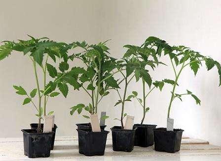 Общий контейнер для посева семян может быть любого размера, а емкости, в которые будет пикироваться каждый росточек должны иметь объем не менее 0,5 л.
