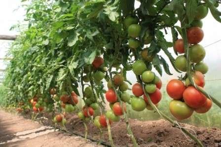 Легко ли вырастить помидоры в теплице из поликарбоната? Посадка и уход — как не допустить ошибок? Сегодня мы рассмотрим ответы на эти вопросы.