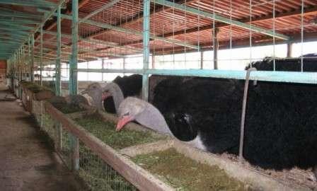 помещение для содержания страусов.