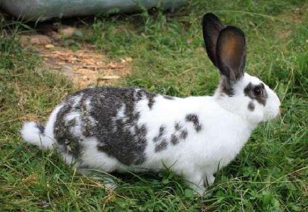Описание и характеристика кроликов Бабочка с фото