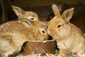 Селекционеры вывели несколько десятков пород кроликов, которые могут выращиваться для получения: