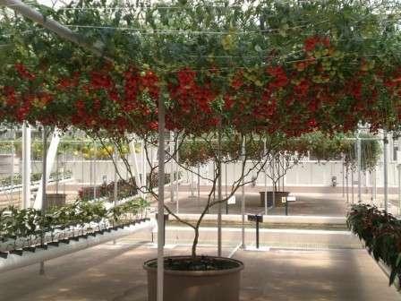 В отапливаемой теплице из поликарбоната из семян этого сорта можно вырастить целое томатное дерево с длиной ствола около 4 м.