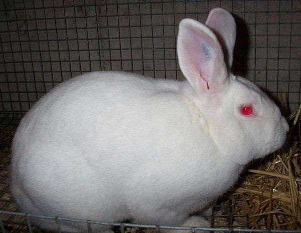 Бройлерные породы можно дополнить Новозеландским белым кроликом, который разводится ради