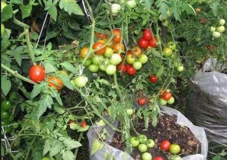 Хотите подробнее узнать про выращивание томатов в мешках в открытом грунте?