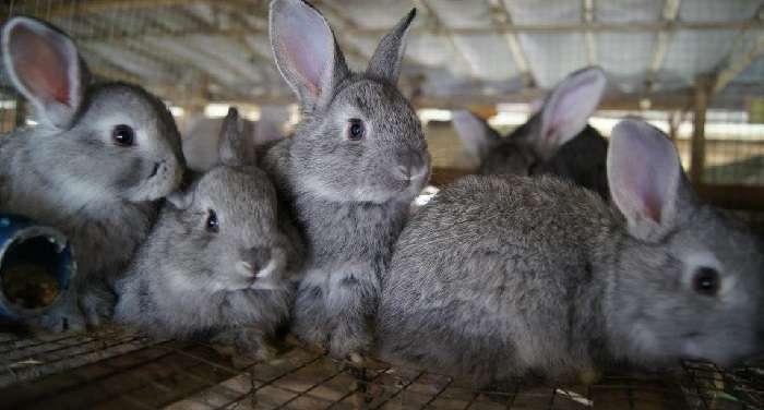 кролики породы Баран описание