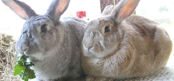 Особенности кормления кроликов в домашних условиях