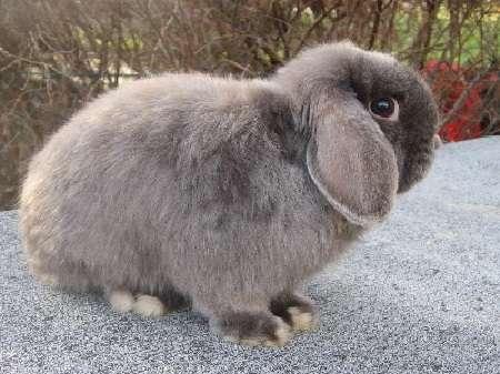 характеристики кроликов породы Баран