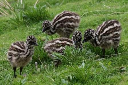 Для поддержания поголовья страусов на небольшой по размерам ферме, будет достаточно до десятка яиц, остальные же можно применить в пищу.