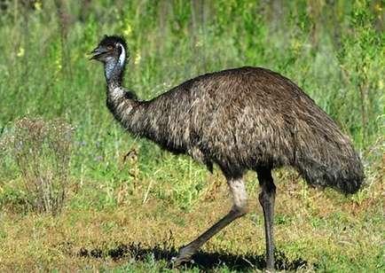 Разведение страусов Эму в домашних условиях