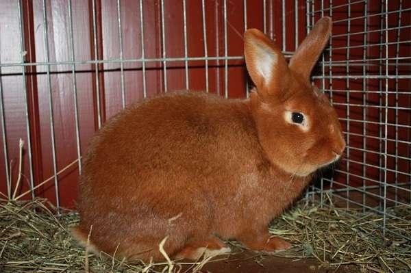 Новозеландский красный кролик – это одна из самых популярных и распространенных пород
