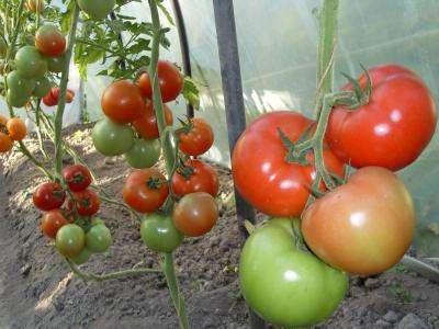 Обычно они имеют длительный период плодоношения и высокую урожайность, а подвязку к шпалере длинный стеблей в таких условиях обеспечить несложно.