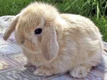 кролики Баран впечатляют