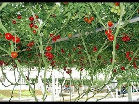 Спрут — сорт помидоров отличается очень длинным стволом — от 2 до 4 м и двулетним вегетативным периодом, плоды по 40-50 г круглые или розовые (зависит от разновидности сорта), устойчив к болезням, некапризен; количество собранных плодов будет зависеть от периода вегетации.
