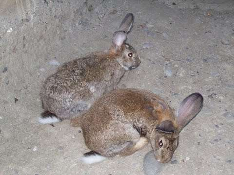 По отзывам кролиководов, Фландр характеризуется спокойным и послушным нравом