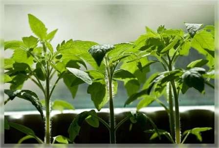 На этой странице нашего сайта о фермерстве мы назовем благоприятные дни в марте для посадки томатов и перца по лунному календарю, а также научим вас правильно определять подходящий период для вашего региона.