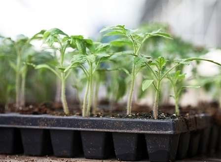 Для посева семян нужны большие неглубокие ящики. Более удобными будут кассеты — множество объединенных между собой небольших пластиковых горшочков.