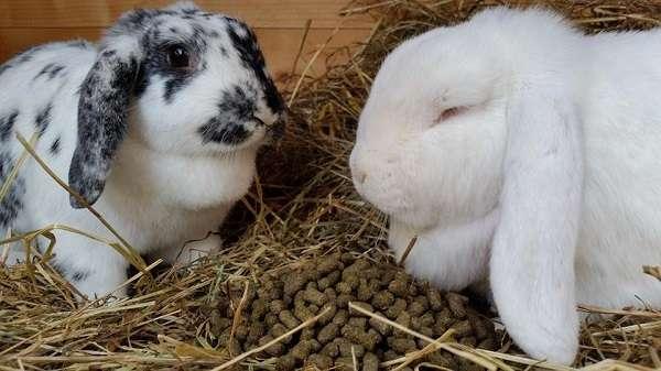 Период спаривания кроликов интересен начинающим фермерам