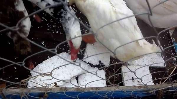 несколько основных причин и предположений, почему куры едят пенопласт