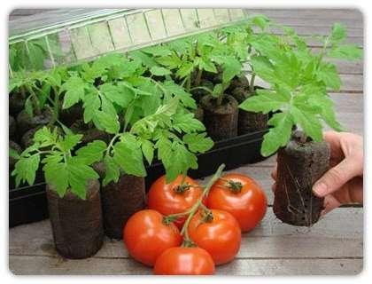 Рассада помидор в домашних условиях 81