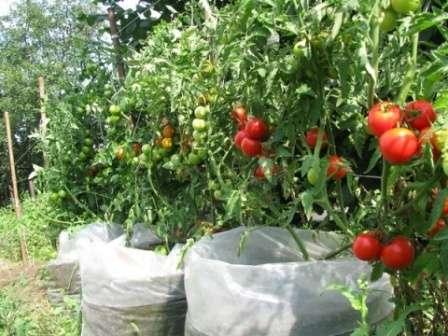 При похолодании следует развернуть верхний свободный край мешка и прикройте ростки.