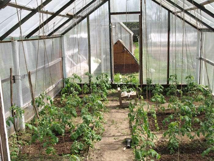 Если вы позаботились о правильном составе почвы в теплице еще до посадки помидоров, то усердствовать с подкормками не стоит. Достаточно будет всего две, три или четыре.