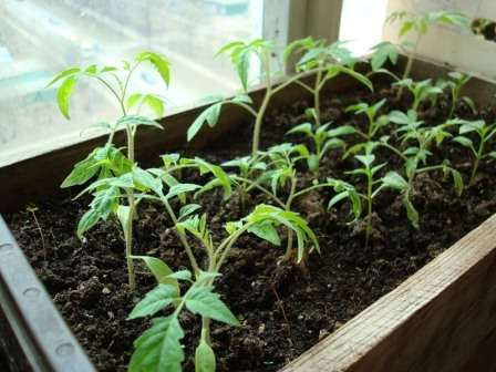 Последние дни зимы и первые числа марта обычно дарят мало солнечного света, а при его дефиците рассада помидоров начнет вытягиваться.