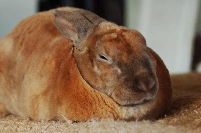 порода кроликов рекс с фото и описанием